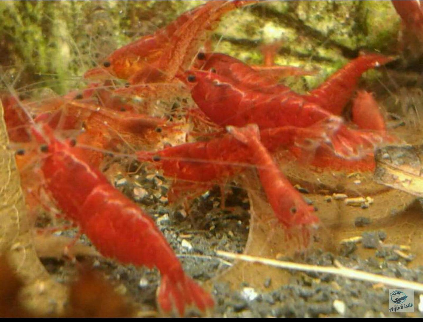 Bloody Mary - Neocaridina davidi var. bloody mary sakura