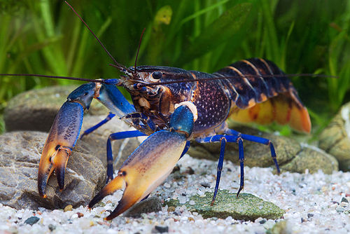 Cherax sp. bluemoon (Marble)
